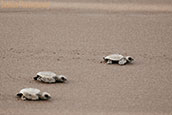 Turtles at Velas