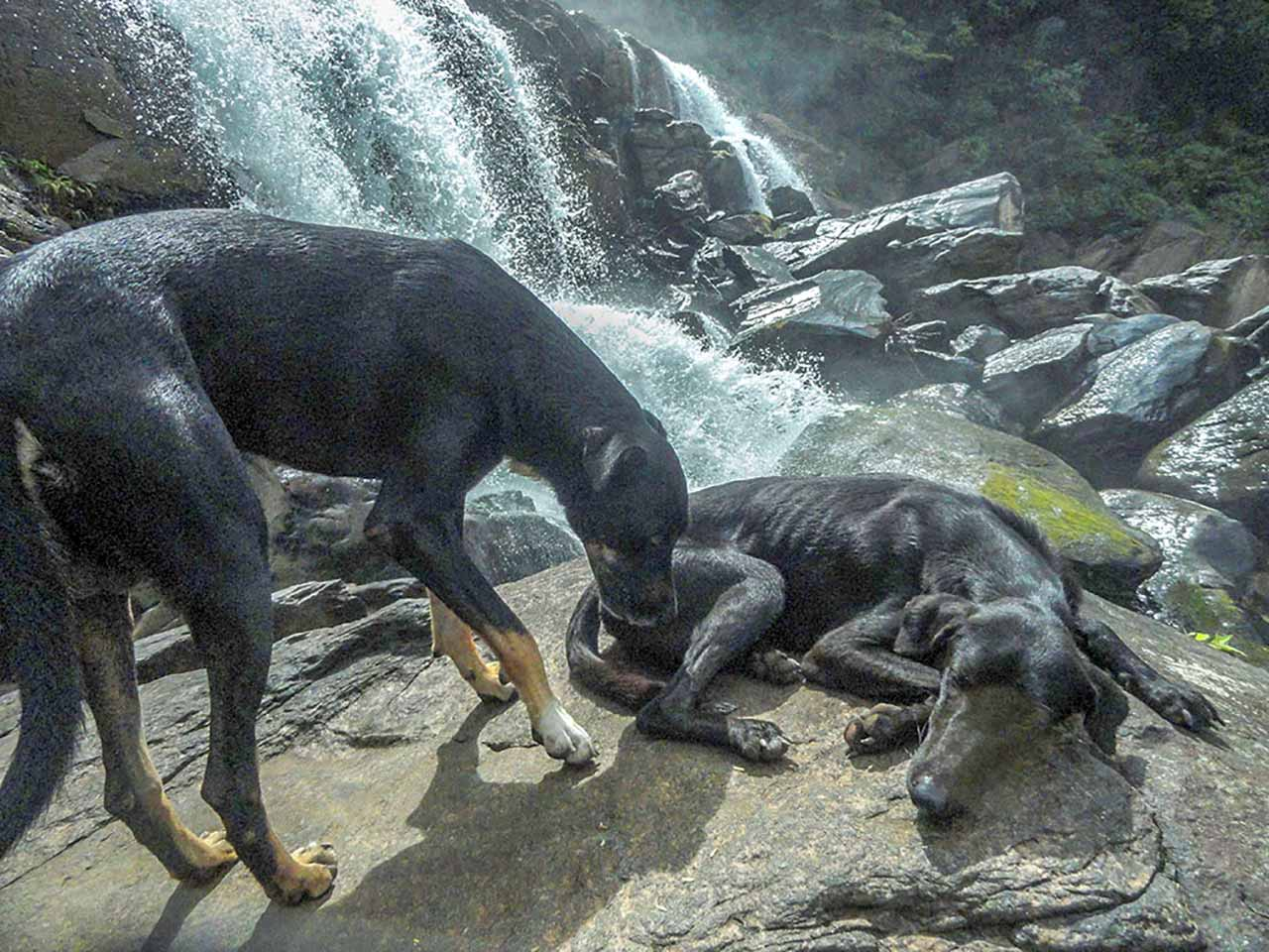 Dogs accompanying to waterfall